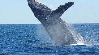 Taucherin: Buckelwal hat mich vor Hai gerettet