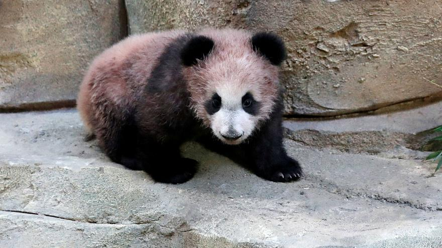 France's first panda makes public debut