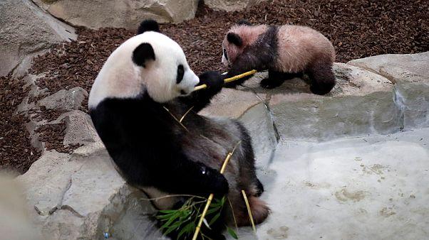 Bébé panda fait ses premiers pas en public