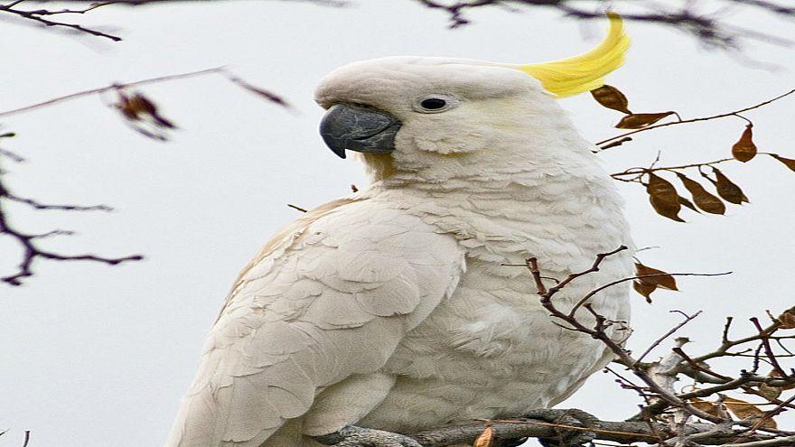 طيور الكوكاتو تزرع الذعر في أستراليا
