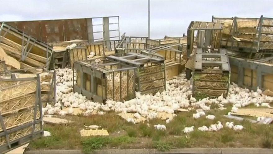 Australien: LKW stürzt mit Tausenden Hühnern an Bord um