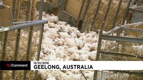 """Chicken Run"" à l'australienne"