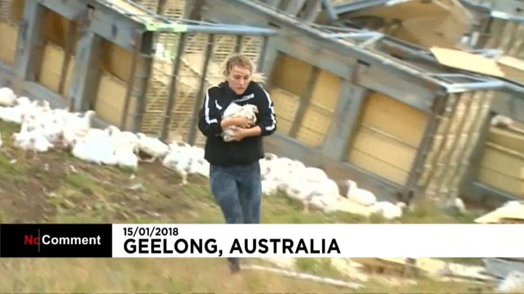 Camião com centenas de galinhas despista-se na Austrália