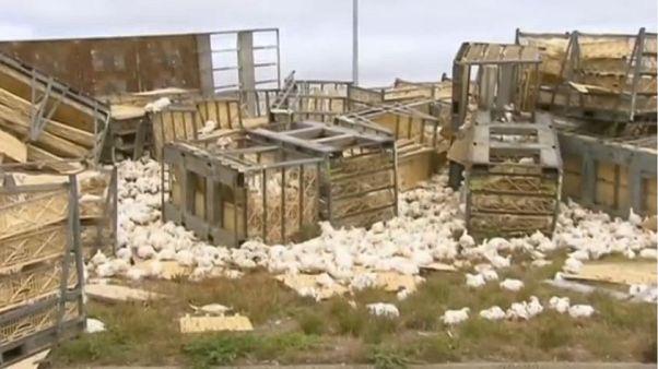 Csirkék ezrei szabadultak egy balesetben Ausztráliában