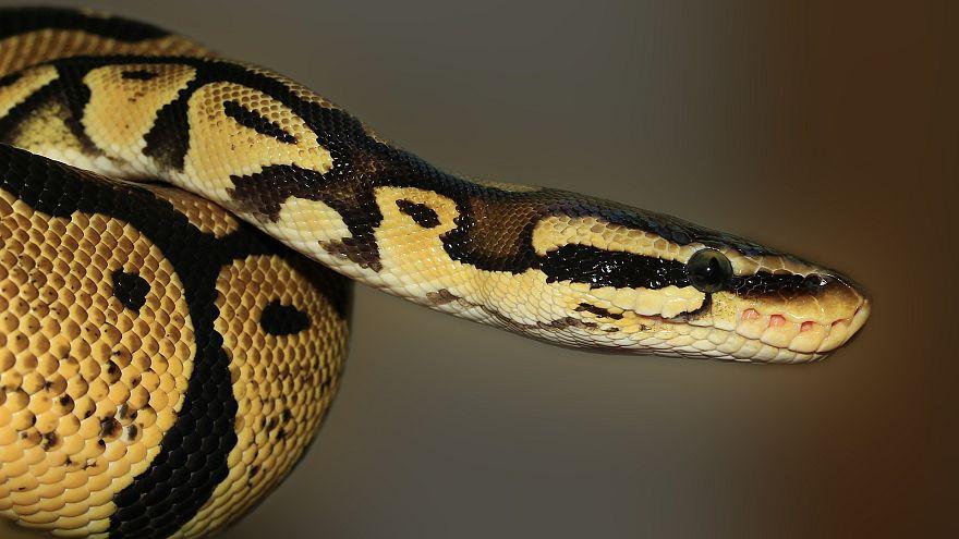 Ein Albtraum: Mann findet 1,5 Meter lange Python im Klo