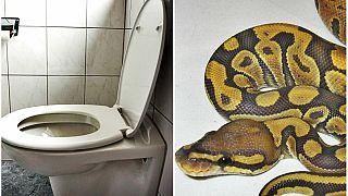 مرد فرانسوی در توالت آپارتمانش با یک مار پیتون روبرو شد