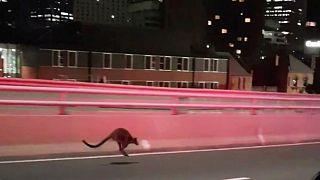 Schneller als die Polizei erlaubt: Känguru verirrt sich auf Sydneys Harbour Bridge