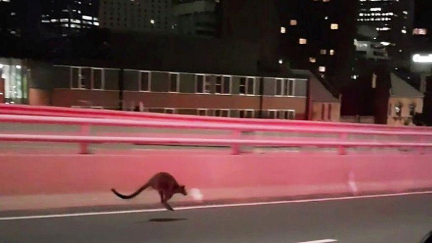 Un wallaby à Sydney