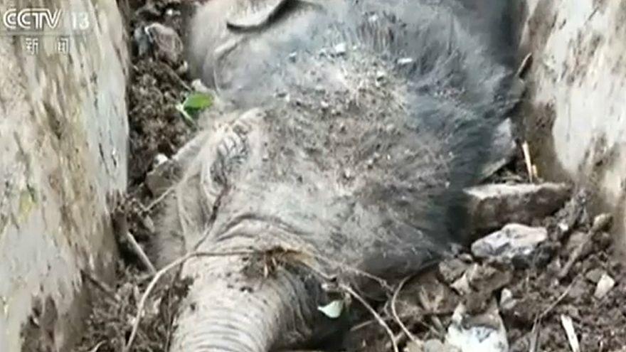 إنقاذ فیل صغیر عالق في قناة للتصریف جنوب الصین