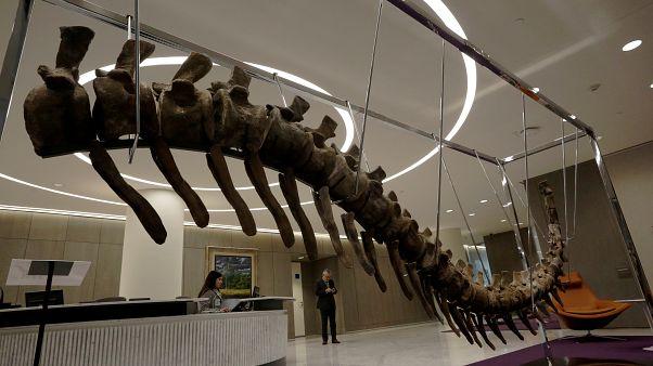 ذيل ديناصور منقرض عثر عليه في المغرب والمطروح للبيع في مزاد بالمكسيك معروض