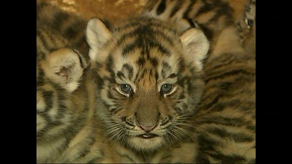 China: Fünf Tigerbabys geboren