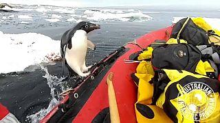 Πιγκουνίνος πηδά από τα παγωμένα νερά σε...βάρκα!