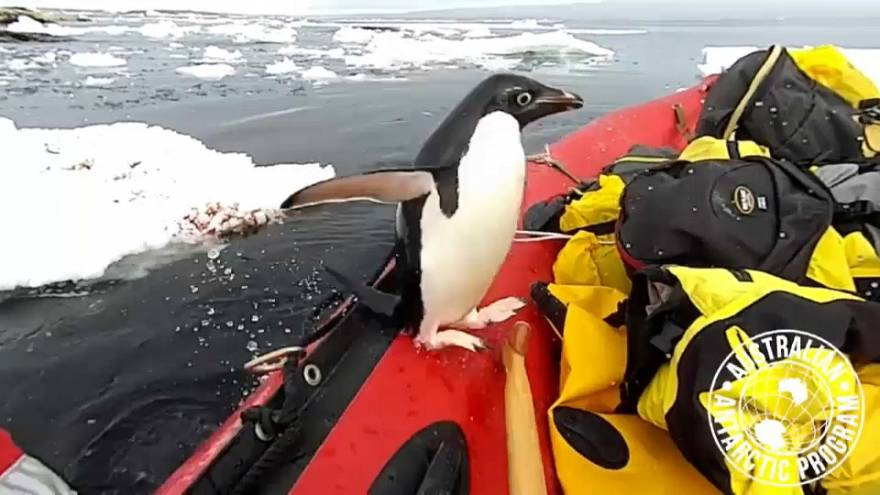 Adelie penguin visits Antarctic scientists' dinghy