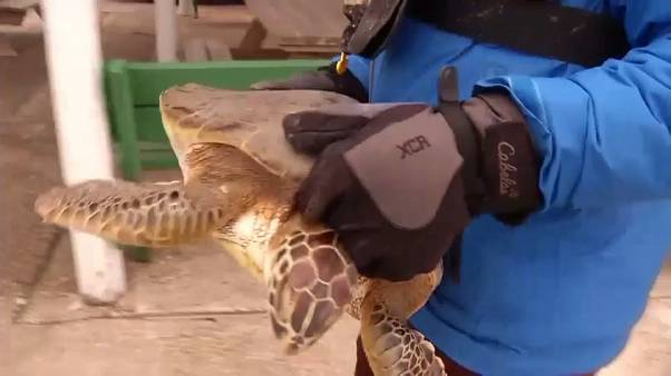 Rescued sea turtle stunned by cold Texan coastal waters