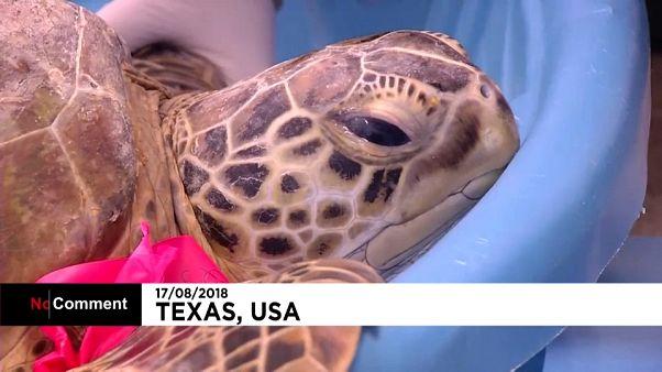 I volontari del Parco Nzionale del Texas in soccorso delle tartarughe infreddolite