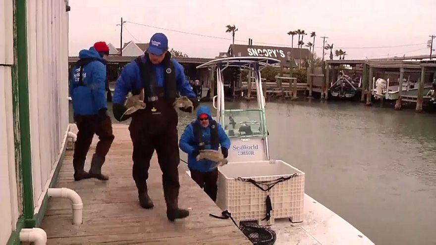 Teksas'ta soğuktan donmak üzere olan deniz kaplumbağaları bakıma alındı