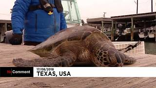 В море замерзли черепахи