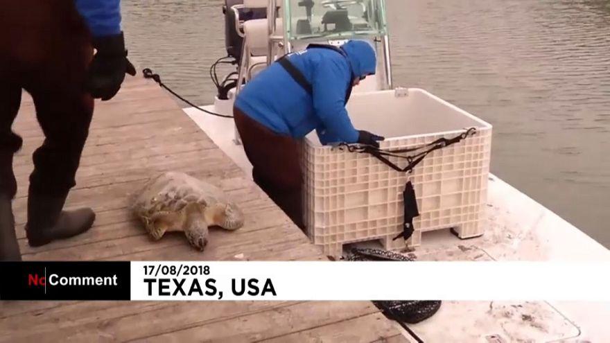 Las tortugas marinas también sufren el frío