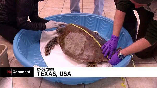Tartarugas do Texas morrem de frio