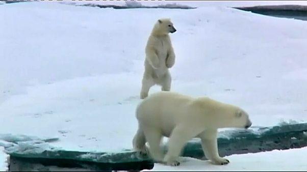 Lo sanno anche gli orsi polari: il 2017 è stato l'anno più caldo