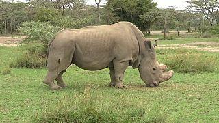 Un rhinocéros sauvé par Tinder?