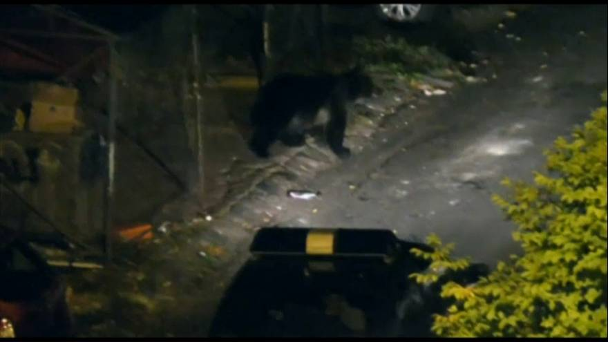 Romanya'da koyun sürüsüne ayı saldırdı