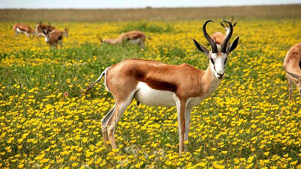 Antilope, Nature, Fleurs, Pré