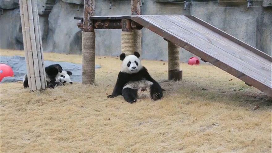 Сцена из жизни Юэюэ и Баньбань