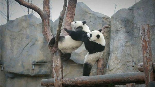 Yue Yue y Ban Ban, los hermanos panda que crecen felices en Shangai