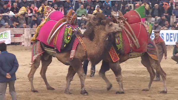 Festival du combat de chameaux en Turquie
