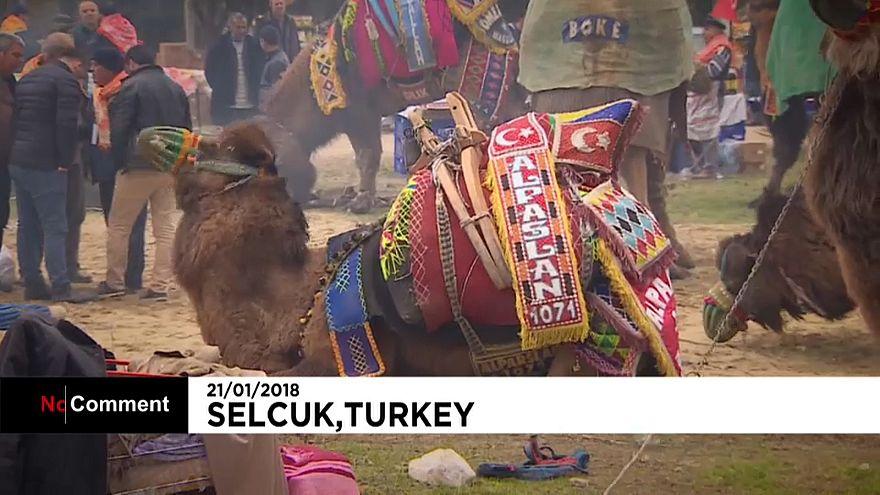 Турция: Фестиваль верблюжьих боев