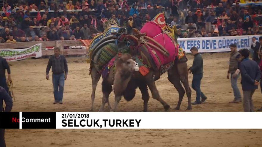 Festival de luta de camelos na Turquia