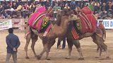 Peleas de camellos en Turquía