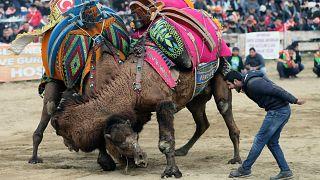 Selçuk'ta Deve Güreşi Festivali