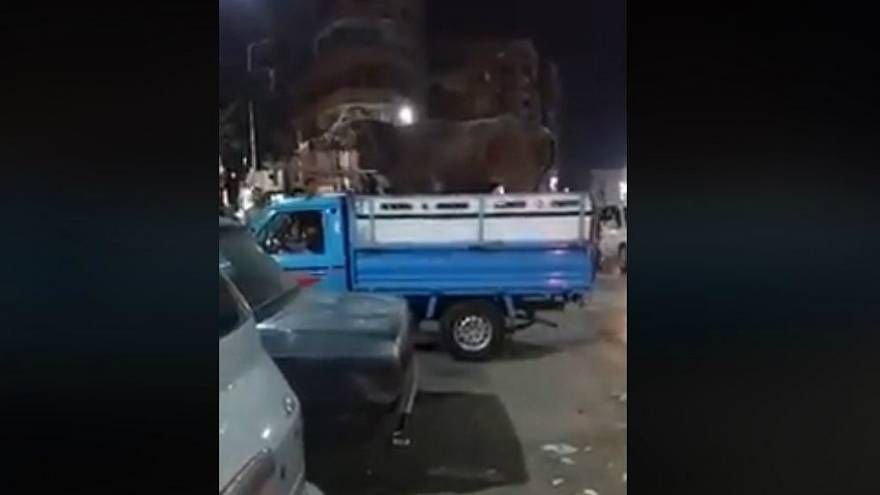شاهد: عجل يرفس صاحبه ويهرول بشوارع إحدى مدن مصر