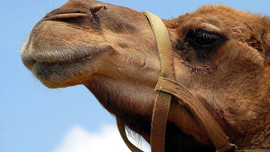 Botox-Skandal: 12 Kamele von Schönheitswettbewerb ausgeschlossen