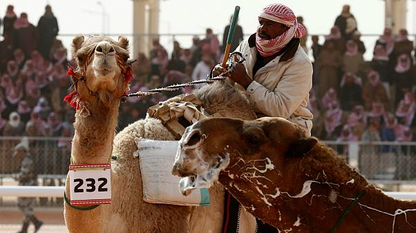 Camel Competition
