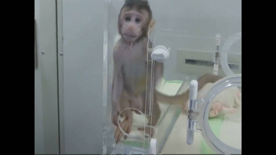 Chineses clonam primatas não humanos