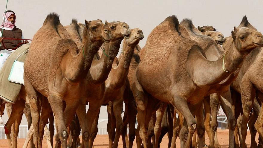 Banned for Botox: 12 camels disqualified from Saudi beauty pageant