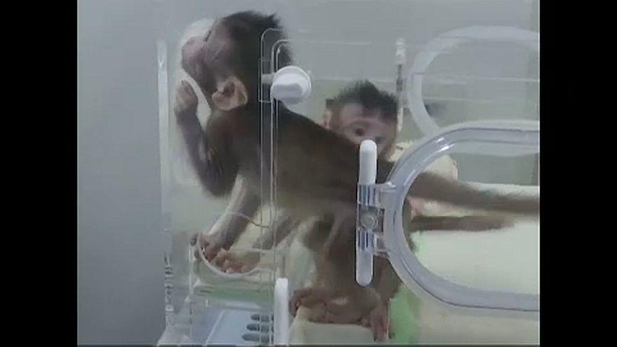 Majmokat klónoztak kínai tudósok