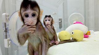 Κλωνοποίησαν τις πρώτες στον κόσμο μαϊμούδες – Πιο κοντά στην κλωνοποίηση ανθρώπων;
