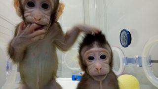 Les premiers clones de primates