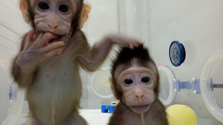 China: Erstmals Affen geklont