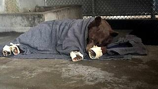 Bearing up: black bears re-released after holistic treatment for burns