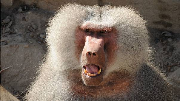Baboons on the loose at French zoo