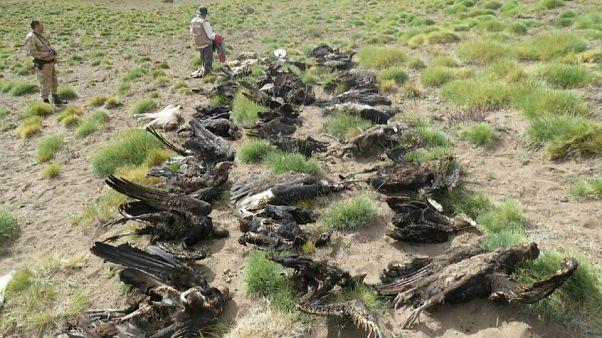 Argentina: trovati 34 condor andini bruciati