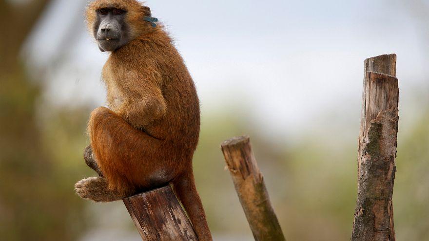 Paris : 50 babouins tentent l'échappée belle