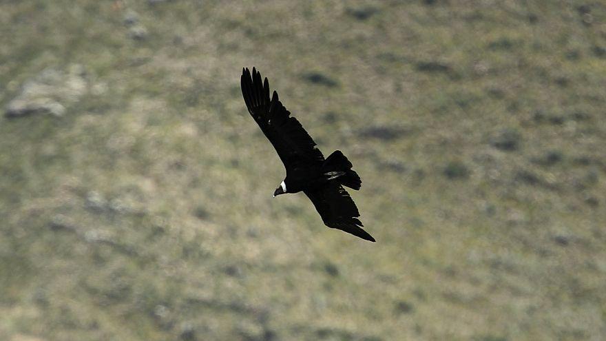 Könige der Lüfte getötet: 34 Kondore in Argentinien offenbar vergiftet