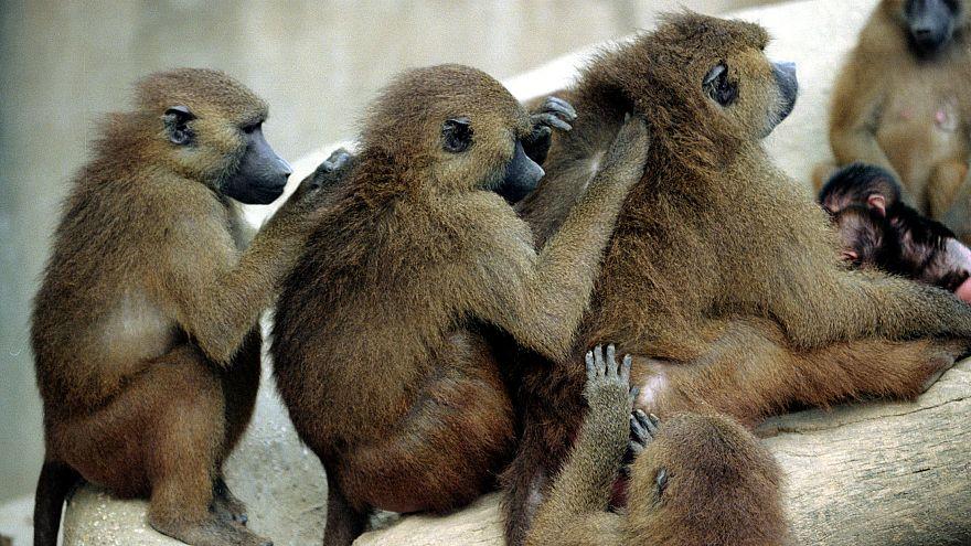 Paviane im Zoo in Paris (Archiv)