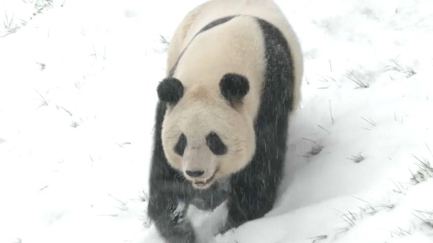 Pandas im Schnee - Wintereinbruch in China sorgt für Freud und Leid
